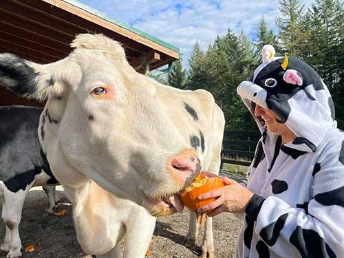 Pasado's Safe Haven cow eating a pumpkin
